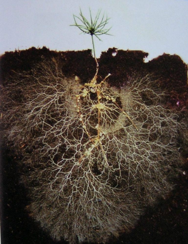 mycorrhizae roots